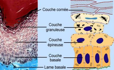 Structure epiderme